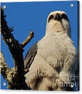 New Orleans  Southern Osprey Acrylic Print
