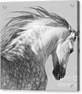The Spanish Stallion Tosses His Head Acrylic Print