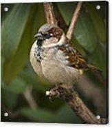 The Sparrow Acrylic Print