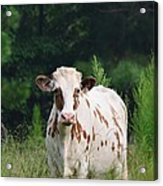The Spotted Cow Acrylic Print