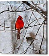 Blue Eyes In The Snow Cardinal  Acrylic Print
