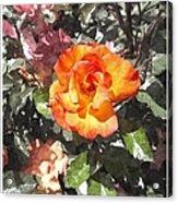 The Spring Rose Acrylic Print
