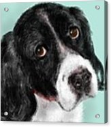 The Springer Spaniel Acrylic Print