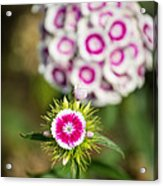 The Star - Beautiful Spring Dianthus Flowers In Bloom. Acrylic Print