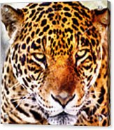 The Stare Acrylic Print by Lester Phipps