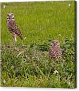 The Stares Of The Burrowing Owls Acrylic Print
