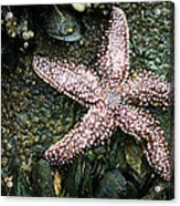 The Starfish  Acrylic Print by JC Findley
