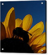 The Sunflower And The Bee Acrylic Print