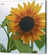 The Sunflower Acrylic Print by Victoria Sheldon