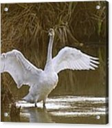 The Swan Spreads Its Wimgs Acrylic Print
