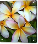 The Sweet Fragrance Of Plumeria Acrylic Print by Pamela Winders