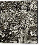 The Swinging Tree Sepia Acrylic Print