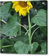 The Tallest Sunflower Acrylic Print