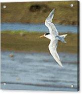 The Tern Sq Acrylic Print
