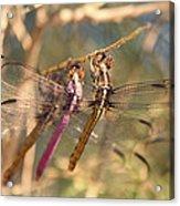 The Three Dragonflies  Acrylic Print
