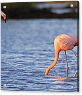 The Three Flamingos Acrylic Print