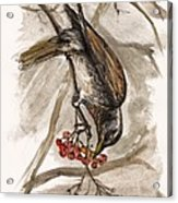 The Thrush Eating Cranberries Acrylic Print
