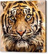 The Tiger Acrylic Print