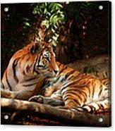 The Tigress  Acrylic Print