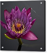 The Tiny Dragonfly On A Water Lily Acrylic Print