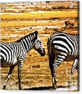 The Tired Zebras Acrylic Print