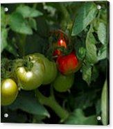 The Tomato Plant Acrylic Print
