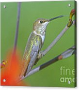 The Tongue Of A Humming Bird  Acrylic Print