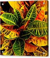The Tropical Croton Acrylic Print by Lisa Cortez