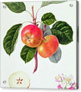 The Trumpington Apple Acrylic Print by William Hooker