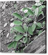 The Untouchable Plant Acrylic Print