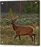 The Velveteen Elk Acrylic Print