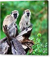 The Vervet Monkey. Lake Manyara. Tanzania. Africa Acrylic Print