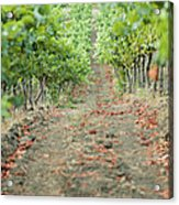 The Vines Acrylic Print by Ariane Moshayedi