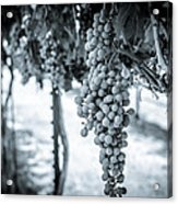 The Vineyard   Bw Acrylic Print