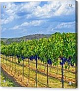 The Vineyard In Color Acrylic Print by Kristina Deane