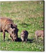 The Warthog Family On Savannah In The Ngorongoro Crater. Tanzania Acrylic Print