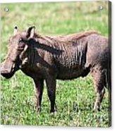 The Warthog On Savannah In The Ngorongoro Crater. Tanzania Acrylic Print