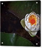 The Water Lily Acrylic Print