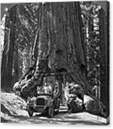 The Wawona Giant Sequoia Tree Acrylic Print