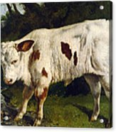 The White Calf Acrylic Print by Gustave  Courbet