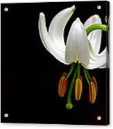 The White Form Of Lilium Martagon Named Album Acrylic Print