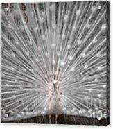 The White Peacock Acrylic Print