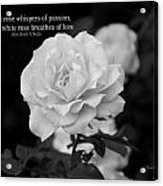 The White Rose Breathes Of Love Acrylic Print