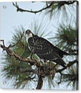 The Wild Osprey Acrylic Print