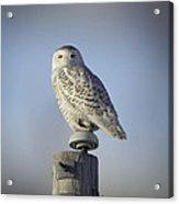 The Wise Snowy Owl Acrylic Print
