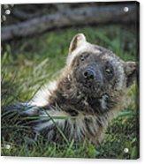 The Wolverine Skunk Bear Happy Face Acrylic Print