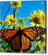The Wonderful Monarch 3 Acrylic Print