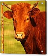 The Young Bull Acrylic Print by Adam Dowling