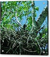 The Young Eaglet Peaks Out  Acrylic Print