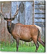 There's An Elk By The Barn Acrylic Print